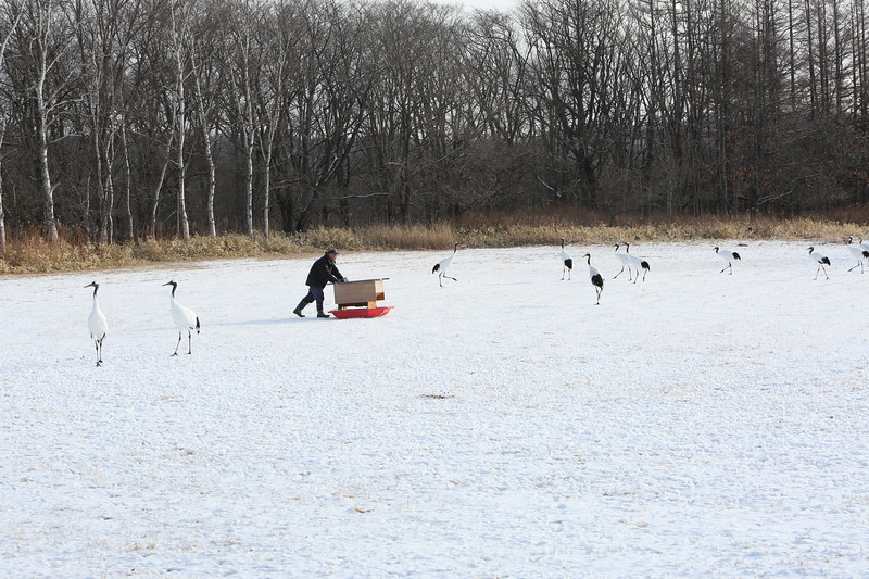 Feeding time for Red Crowned Cranes.