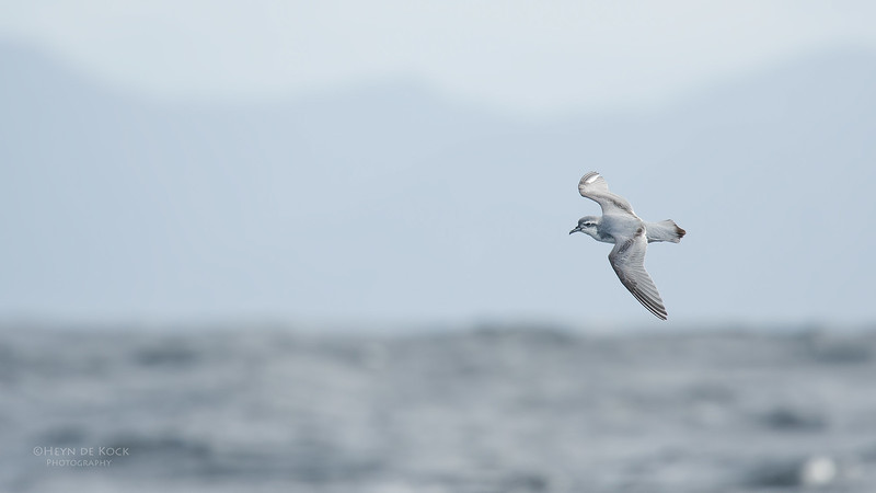 Slender-billed Prion, Eaglehawk Neck Pelagic, TAS, Sept 2016-2.jpg