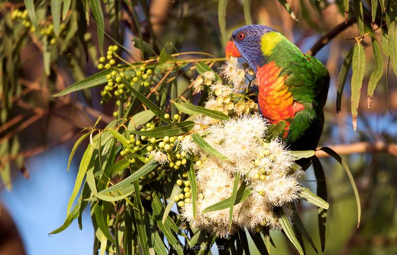 Cronulla parrots 3.jpg