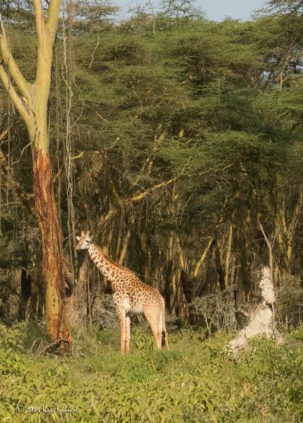 GiraffesK-5.jpg