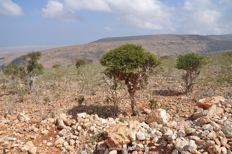 Commiphora socotrana