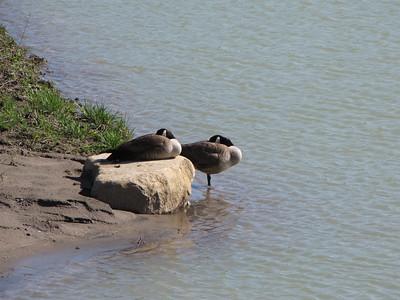 20090510 Canada Goose