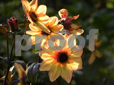 bishop-dahlia-thrives-in-the-heat