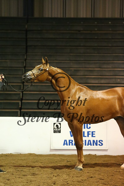11. 11 34 Arabian Geldings ATH 2 & Over