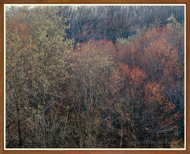 Budding Trees at Sunrise I
