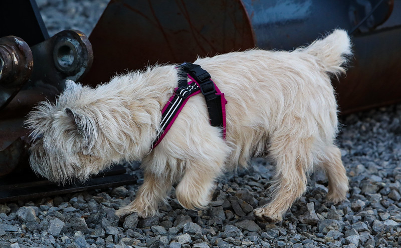 Cairn Terrier PP (4 of 7).jpg