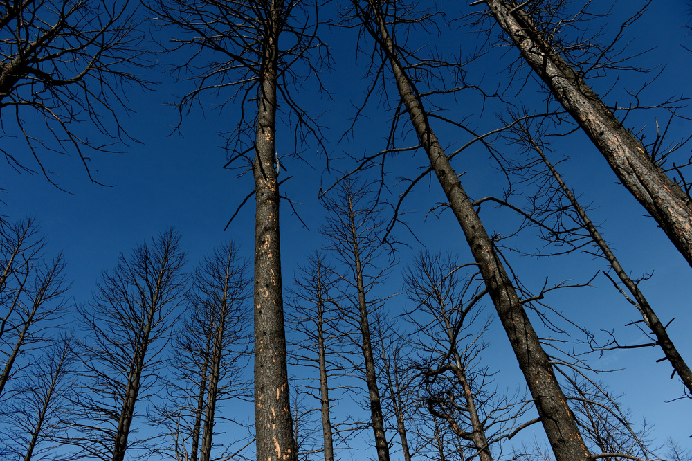 . Burned trees tower above as Scott Appel tours his property that was destroyed in the Lower North Fork fire last year, in Unincorporated Jefferson County, CO March 14, 2013. Appel\'s wife, Ann, is one of three people that died in the fire that destroyed 27 homes. Appel is among nearly 100 people who have made claims for damages against the state.  (Photo By Craig F. Walker/The Denver Post)