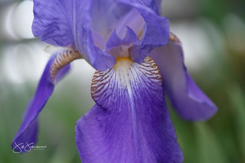 irises-049.jpg