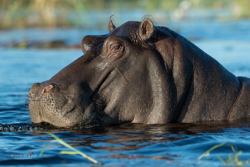 Hippopotamus, Eagle Island, Okavango Delta, Botswana, May 2017-4.jpg