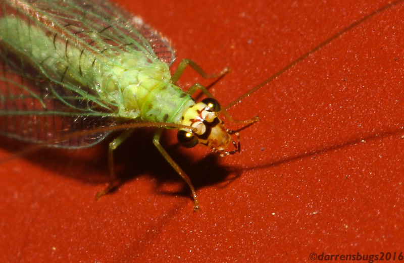 Green lacewing (Chrysopidae) from Iowa.