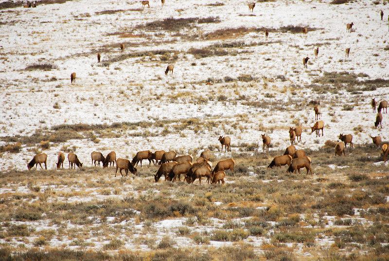 Elk herds   (Dec 12, 2006, 02:16pm)  Seen along the National Elk Refuge Road, just north of Jackson, Wyoming.