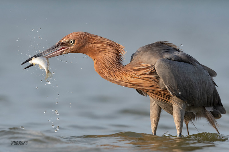 Reddish Egret, Fort De Soto, St Petersburg, FL, USA, May 2018-11.jpg