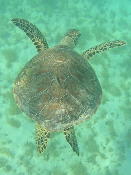 Saint Barth - Underwater Sea turtle in Saint Jean Bay