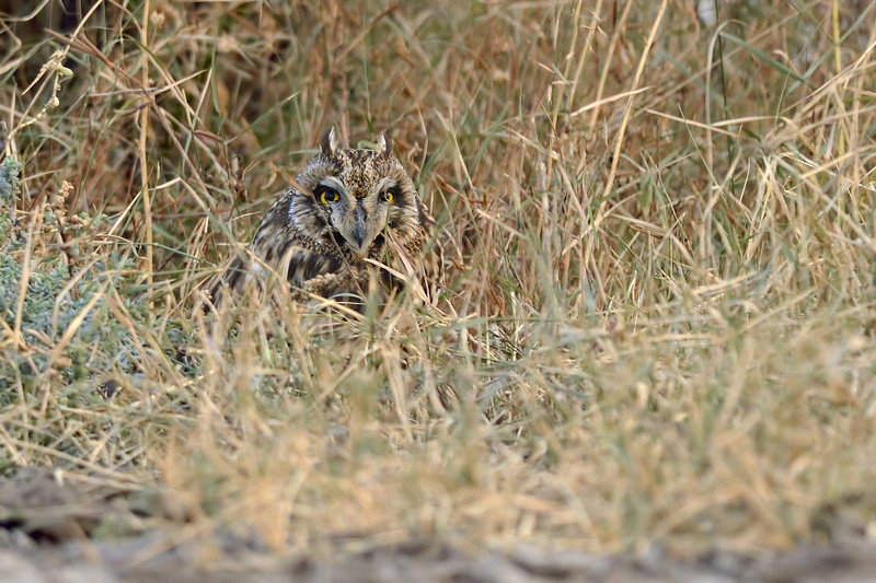 Short-eared-owl-in-the-grass.jpg