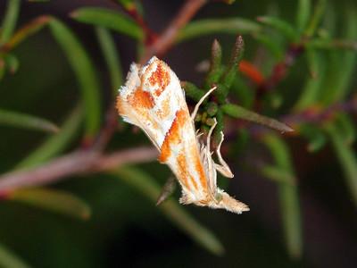 Heliocosmidae