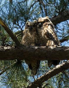 Owl  103