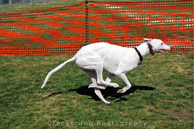 Greyhounds and Other Dogs