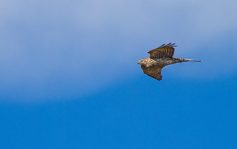 Northern Goshawk juvenile in flight over Hawk Ridge Bird Observatory Duluth MN IMG_4202.jpg