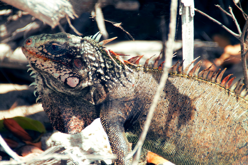 iguana IMG_9773.jpg