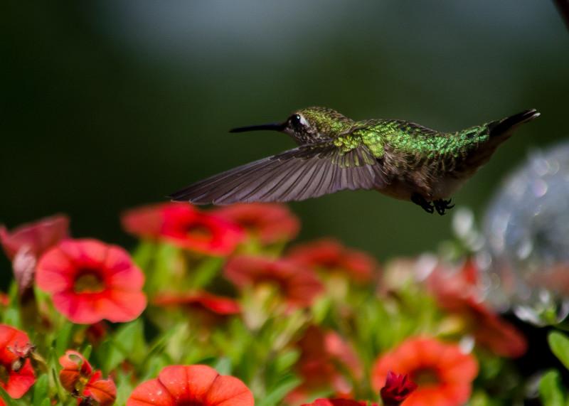 hummingbird 8162014a.jpg