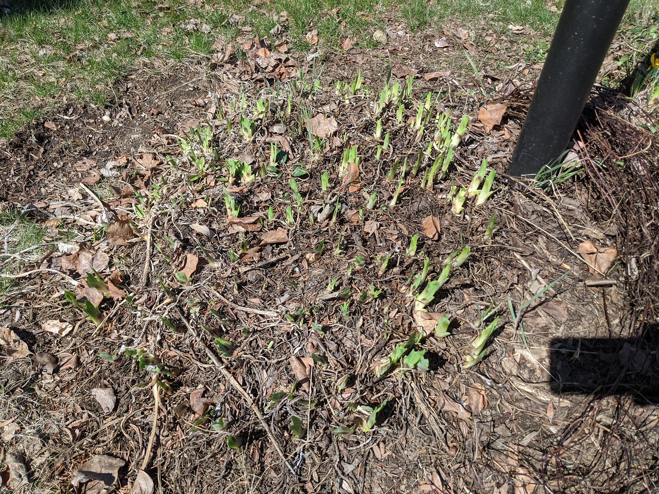 Iris leaves peeking out, March 25