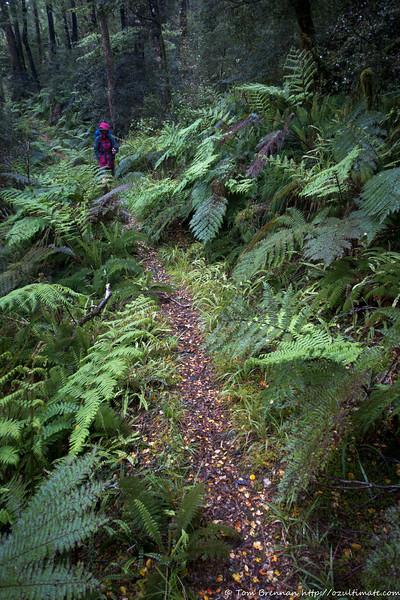 Easy track through ferns