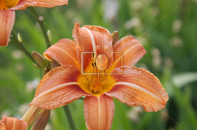 Orange Day Lilies 6-23-2012