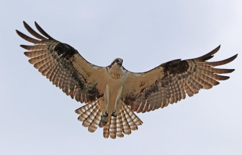 osprey 521.jpg