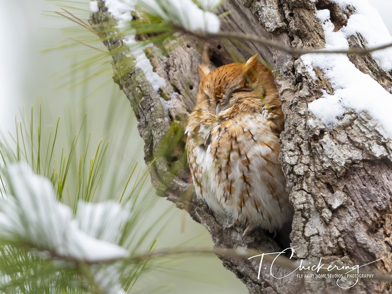 Eastern Screech Owl Red Morph in Snowy Tree Cavity.jpg