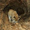 Wild leopard cub inside a fallen tree trunk in Ranthambhore tiger reserve