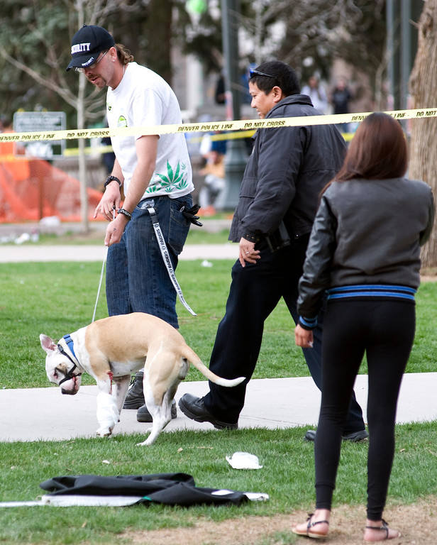 . Denver, CO. - April 20: A man takes his dog, that was grazed by a bullet, under police tape  after a 4/20 pot rally at Denver\'s Civic Center Park, April 20th, 2013. Two people were shot during Saturday\'s annual 4/20 marijuana rally, held on a day cannabis enthusiasts regard as a holiday called 4/20 drew tens of thousands to Denver\'s Civic Center park. This is the first 4/20 marijuana rally since Colorado voters legalized marijuana use for people 21 and older in November.(Photo By Kholood Eid/Special to The Denver Post)