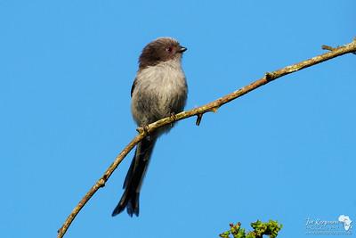 Juvenile Long-tailed Tit
