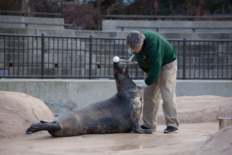 A keeper examines a gray seal.