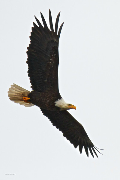 Bald Alaska Eagle In Flight