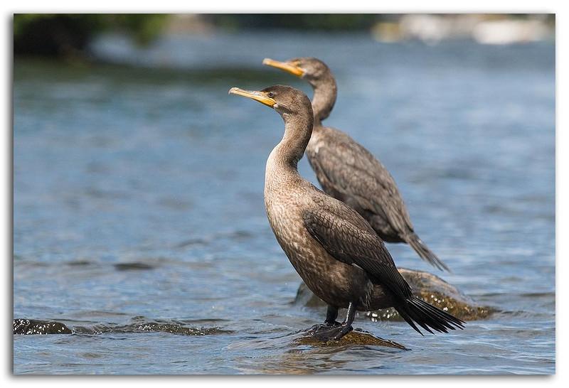 Cormorants.jpg