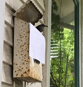 Wren nest building 2017