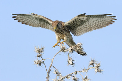 Kestrel - landings