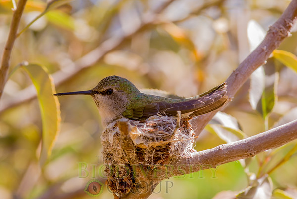 Hummingbirds (Apodiformes)