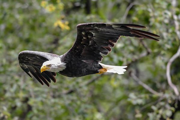 9-15-18 Bald Eagle - Bella Coola BC