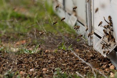 Muertes masivas abejas Murcia