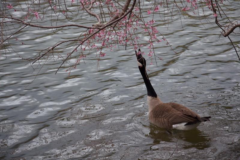 Snacking Goose