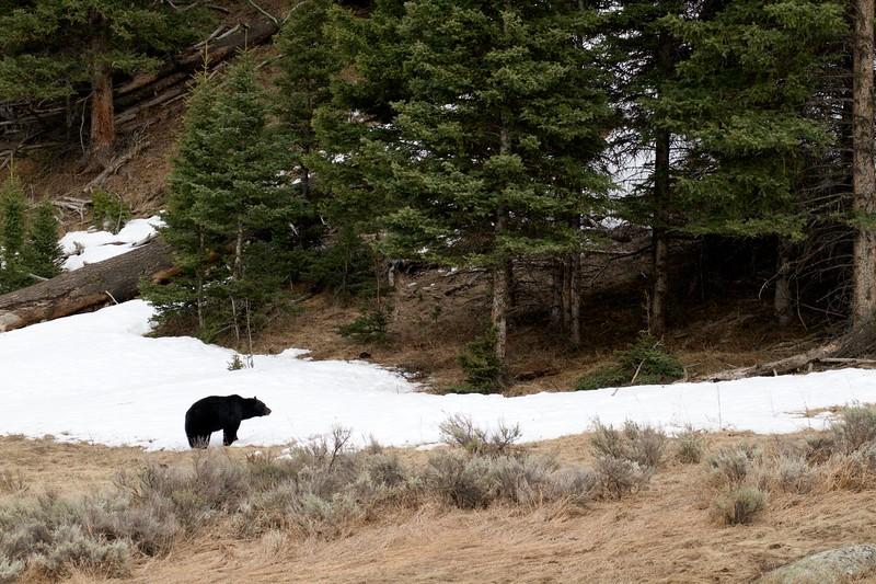Black Bear Yellowstone National Park WY IMG_4977.jpg