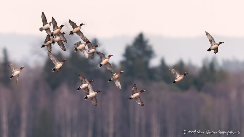 Pibeand - Anas penelope - Eurasian wigeon