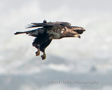 Conowingo Dam Eagles  2011