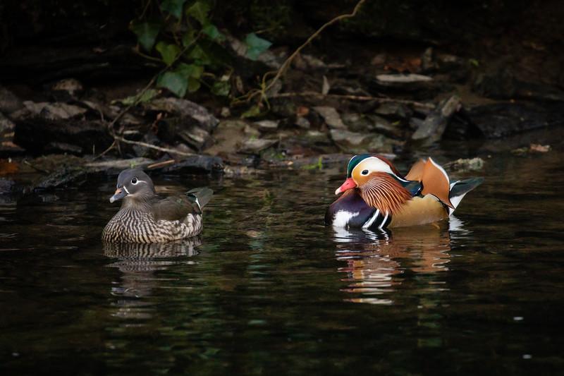 Morag_Mandarin Ducks