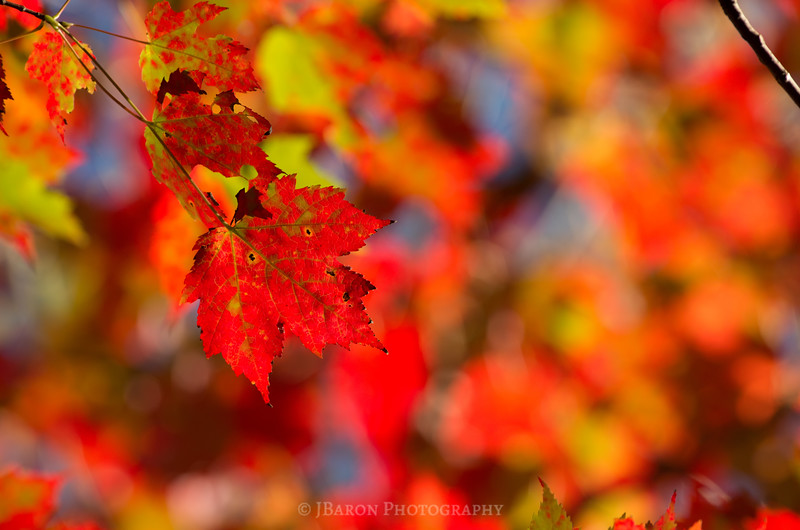 Bright Fall Foliage II