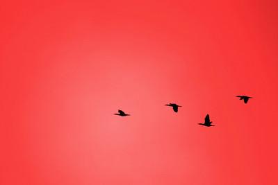 Cormorans (Phalacrocoracidés)