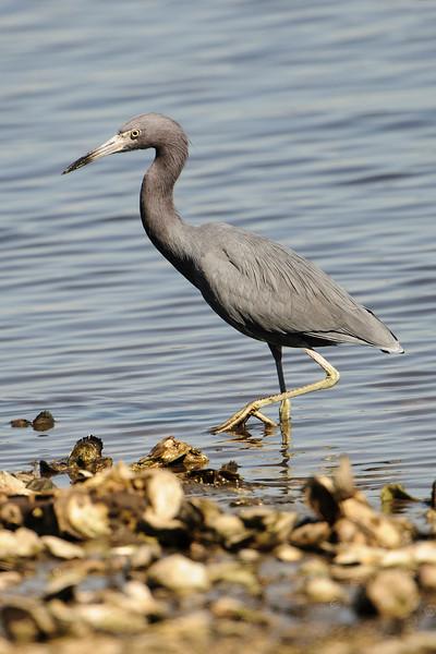 Heron-Little Blue - Betz-Tiger Creek Preserve State Park - Jacksonville, FL