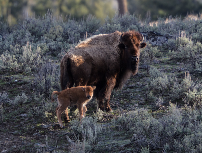 Bison and red dog calf near Yellowstone Picnic Yellowstone National Park WY IMG_6466.jpg