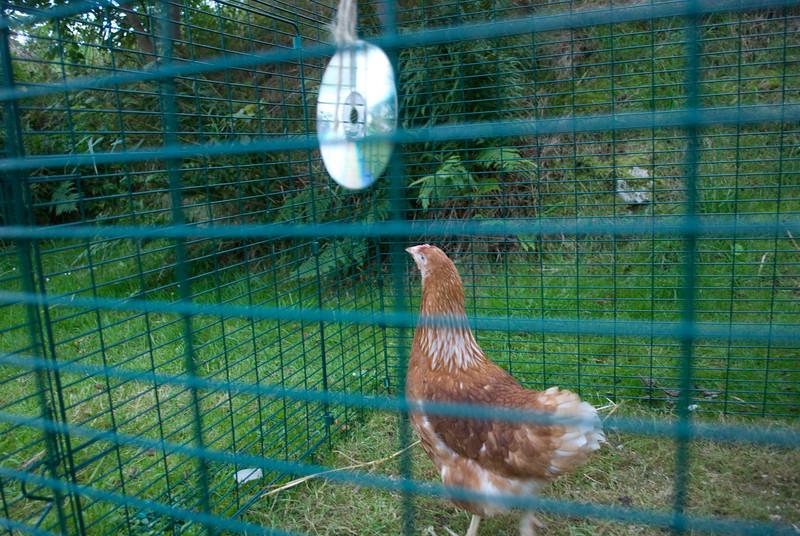 Chickens-14
